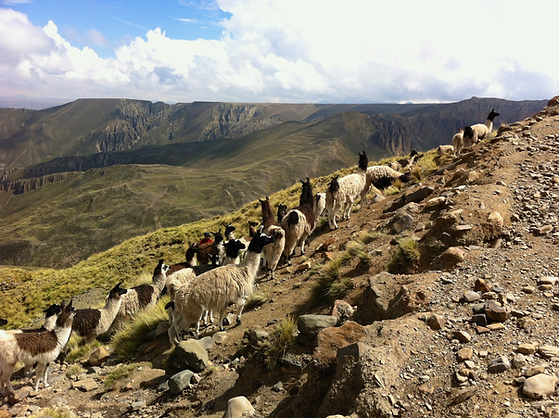 White and black animals walking up a steep mountanside in a row with mountains and sky in background , blue overlay.