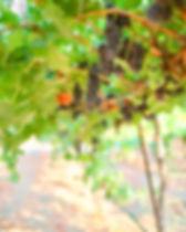 grapes-hanging-vertical.jpg