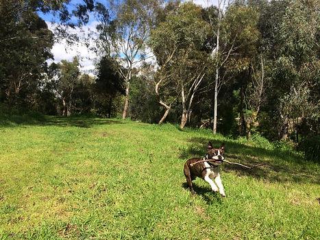 Busta Boston Terrier Melbourne Dog Walking