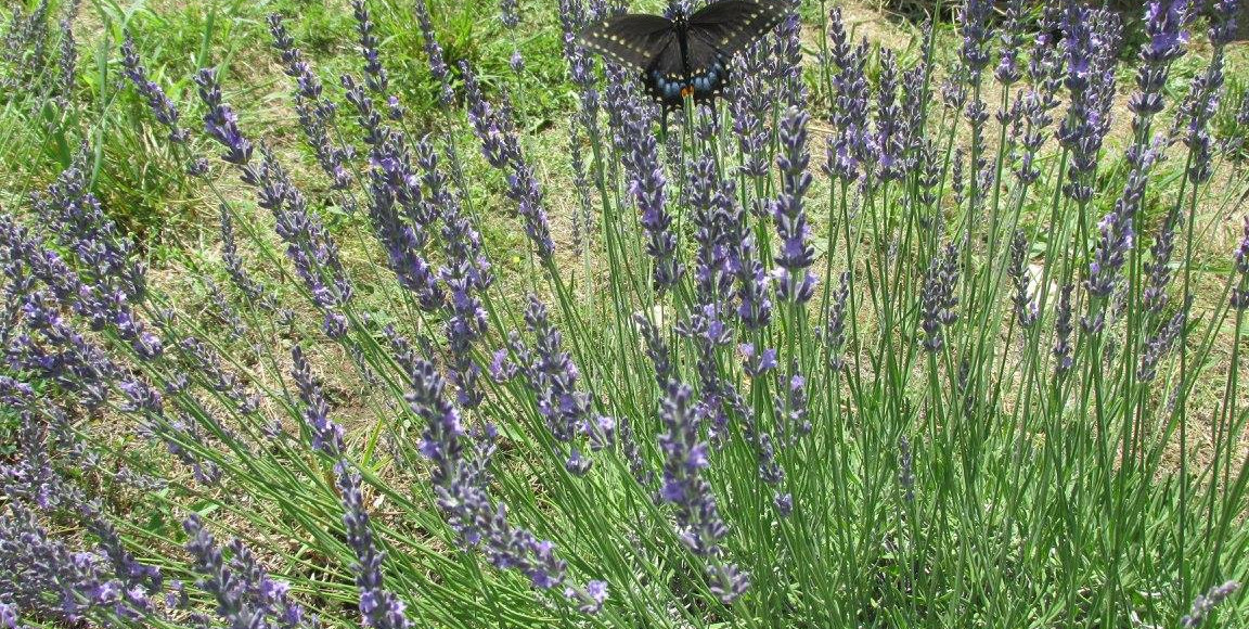 butterfly on lavender.jpg