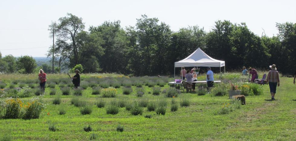 tent in upick field.jpg