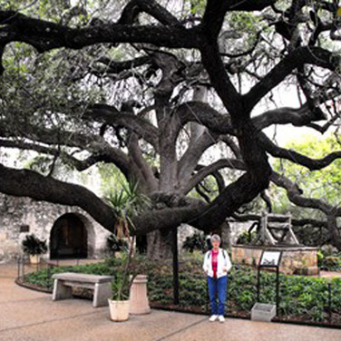A unique and ancient tree at the Alamo