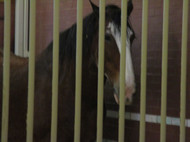 The tour started in the Budweiser Museum and one of the famous Clydesdales