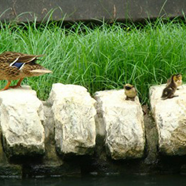 Mama duck taking her brood for a walk along the riverwalk