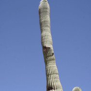One tall cactus