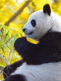 panda-4421381_640.jpg