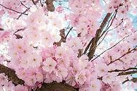 cherry-blossoms-4098985_640.jpg