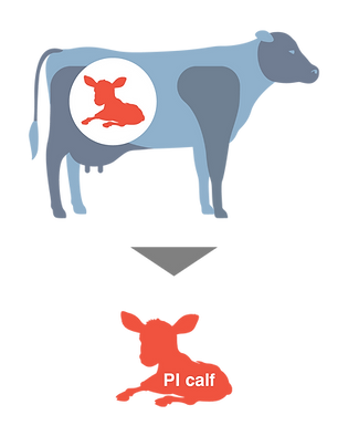 cow_infographic5.png