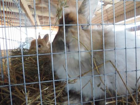 5 pregnant rabbit needs