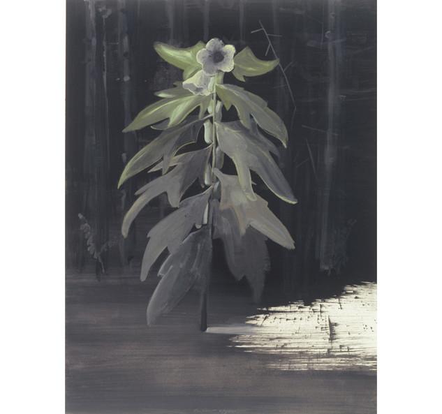 Henbane/plant, 2001