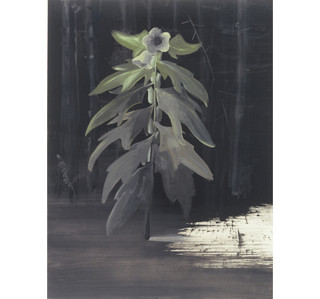 10bilzenkruid-plant.jpg