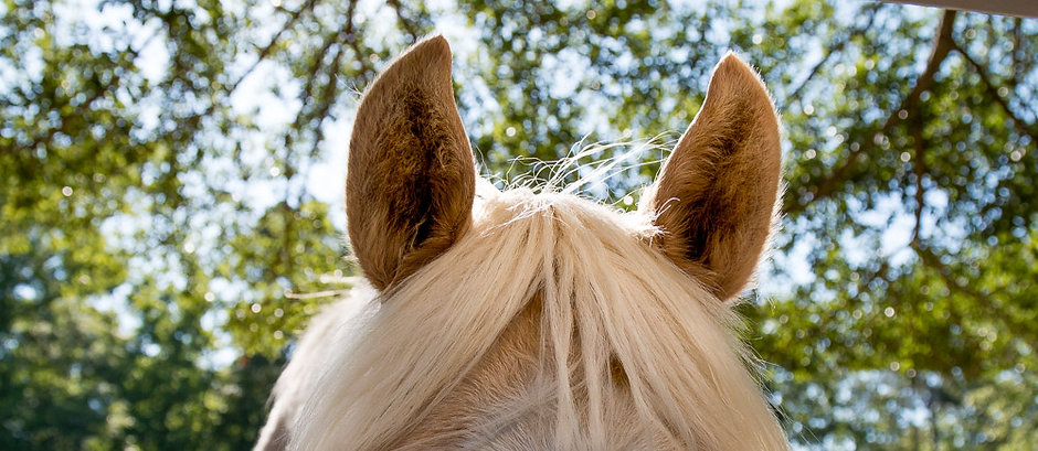 Horse Image of Ears