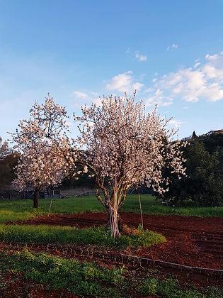 Almond Tree.jpg