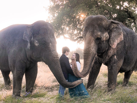 Our Larger Than Life Engagement Shoot 🐘 💕