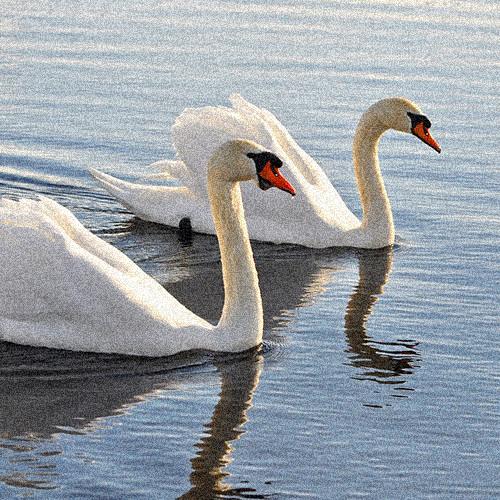 mute-swan-3202415_1280.jpg