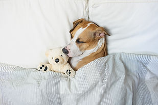 Cute dog sleeping in bed with a fluffy t