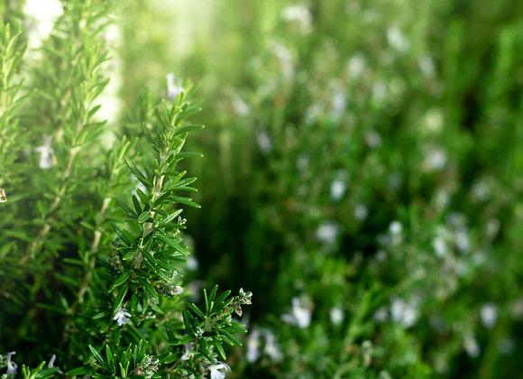 3 x Organic Rosemary (40g)