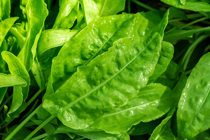 French Sorrel1.jpg