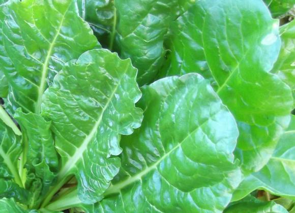 Organic Perpetual Spinach 120g