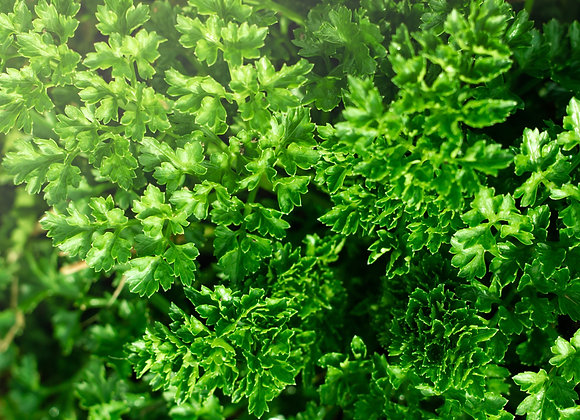 Organic Flat Leaf Parsley 40g