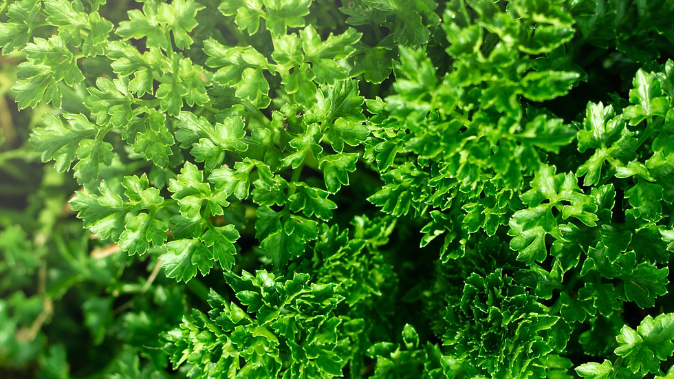 Organic Flat Parsley 40g
