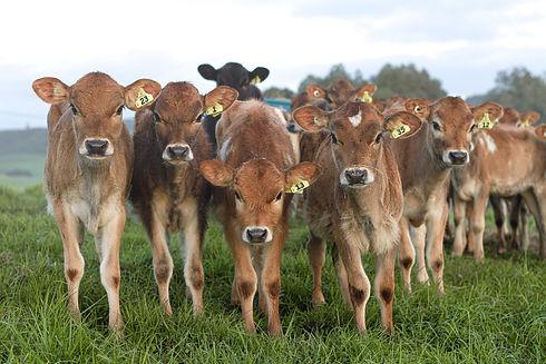 Jersey calves