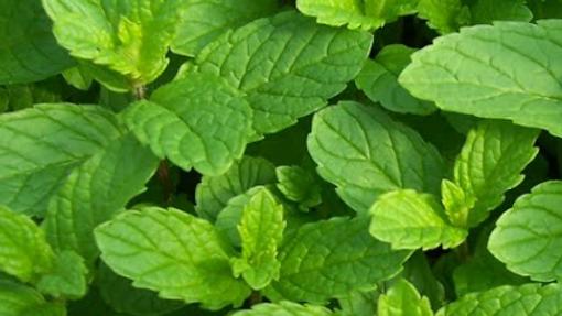 Organic Mint 40g