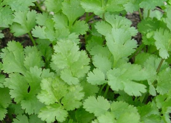Organic Coriander 40g