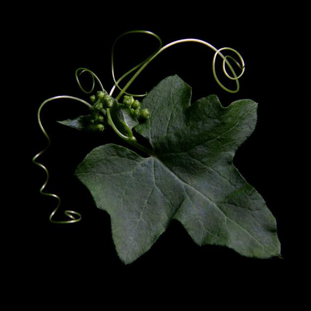 Briony Leaf 7580