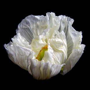 Poppy 0150