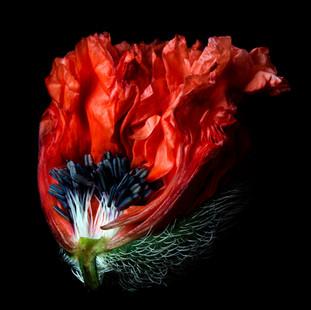 Poppy 1019