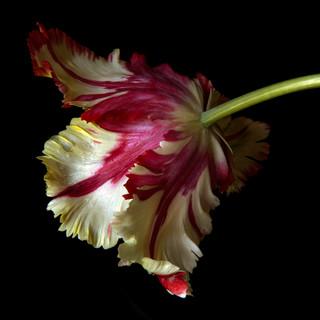 Tulip 7825