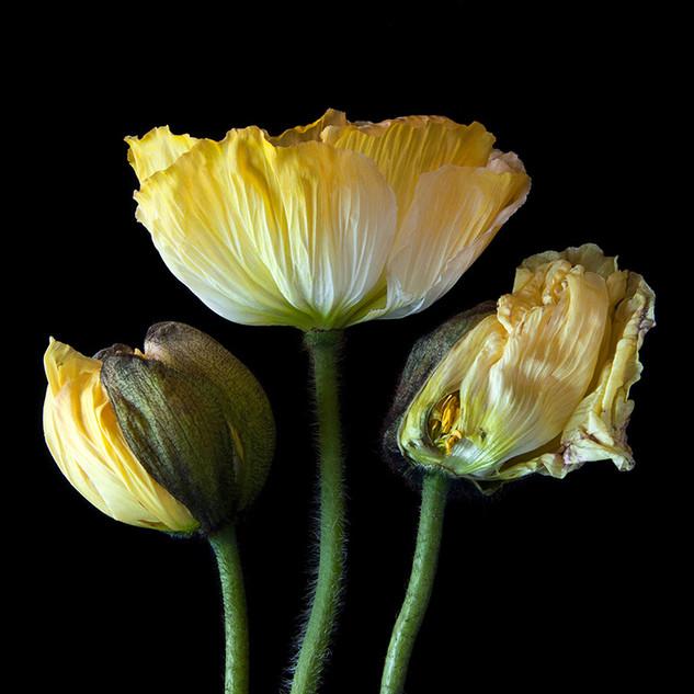 Poppies 0043