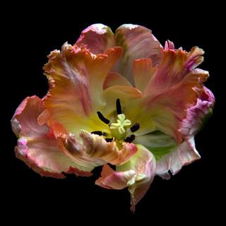 Tulip_0848