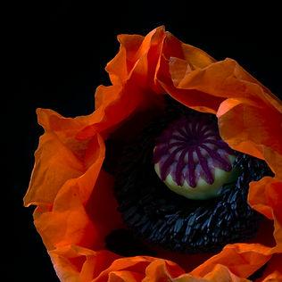 poppy_9990.jpg