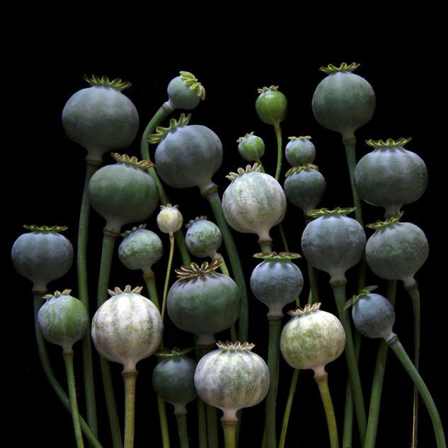 Poppy Pods 7603
