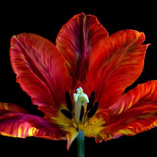 Tulip 6163