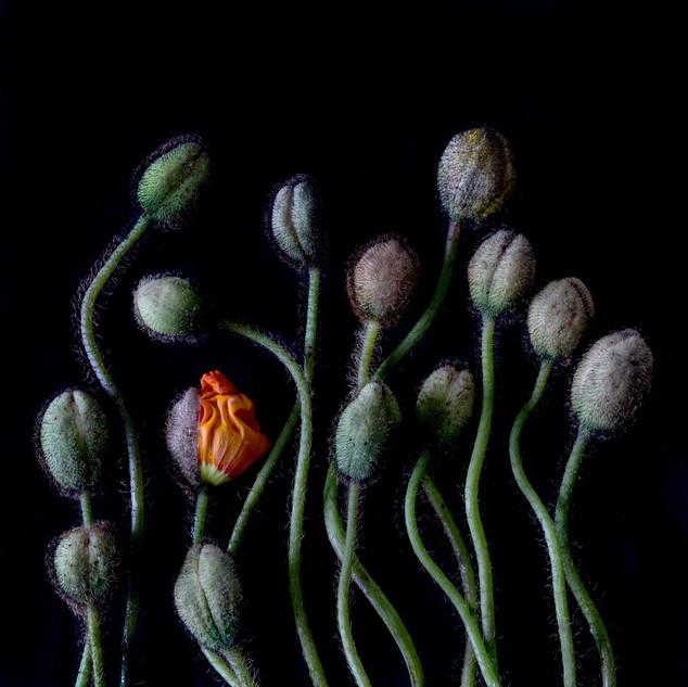 Poppy Buds 2