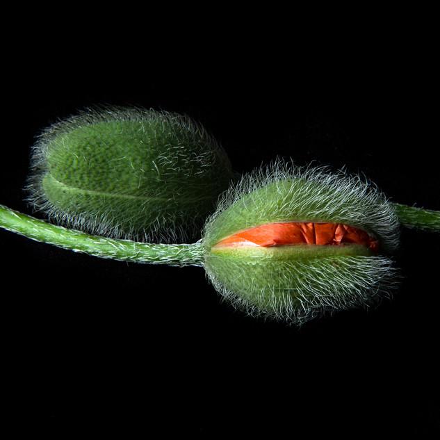 Poppies 9739