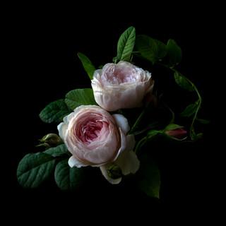 Roses 1049