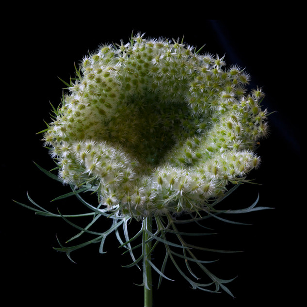 Queen Anne's Lace_9905