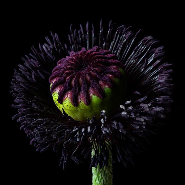 Poppy 9984