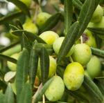 Parco-verde / Nocciolo d'oliva