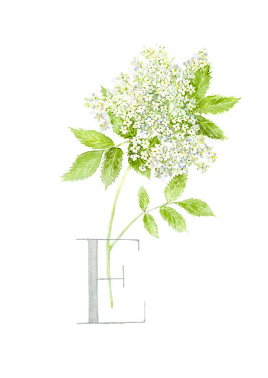 NEW E - Elderflower