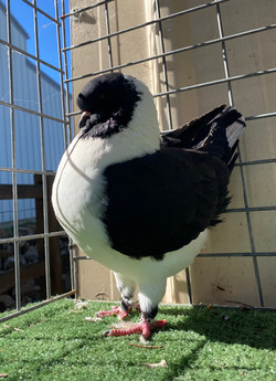 Black Gazzi JR Pigeon Supplies