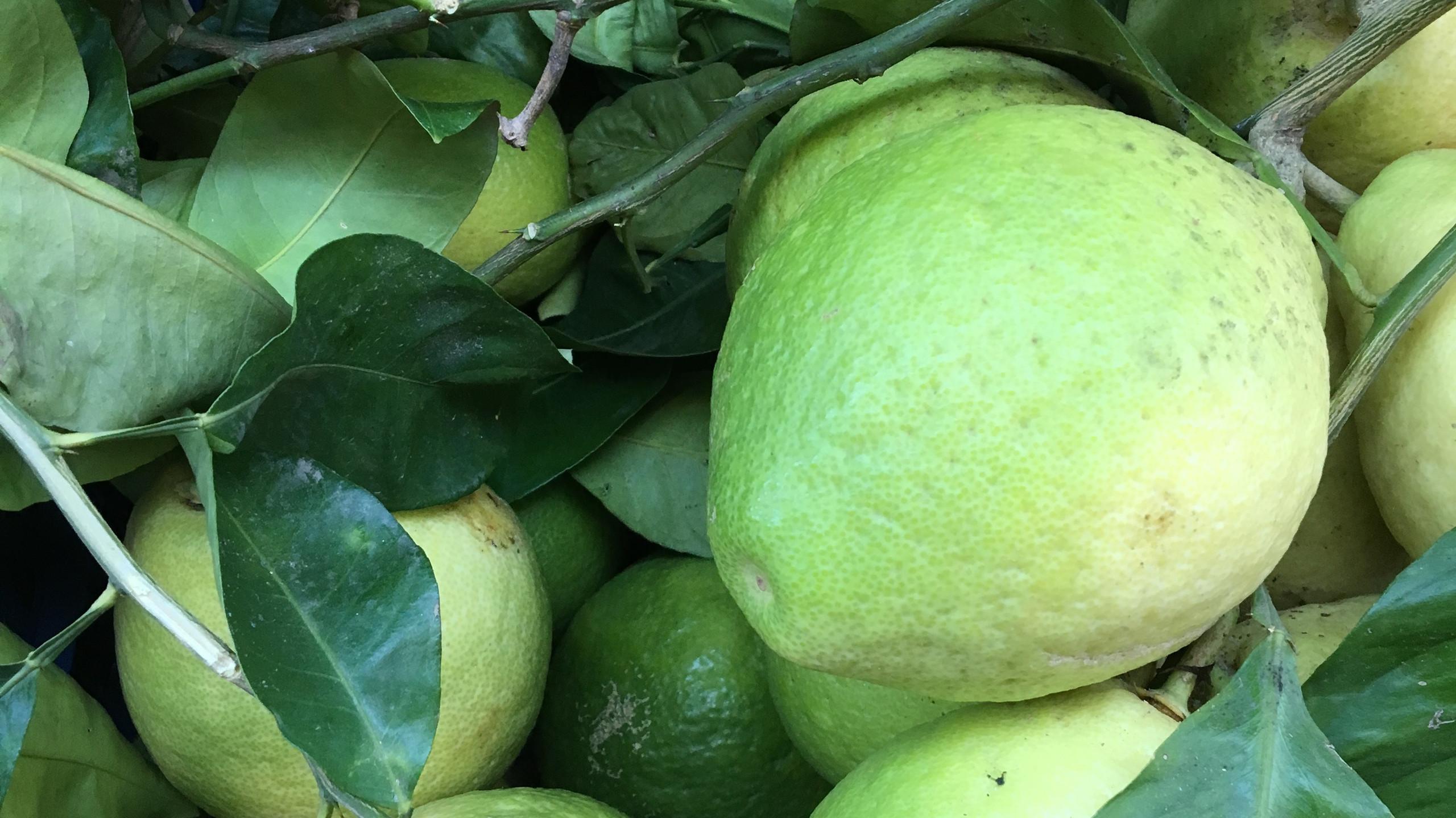 Greenery - Sorrento Lemons