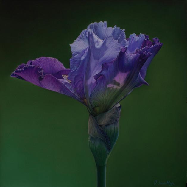 Sugary Awakening of Iris