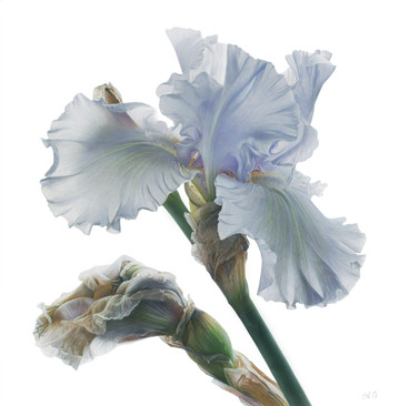 Cloudy Dreams of Iris