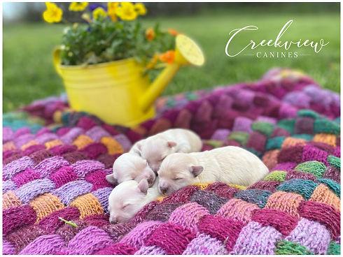 Chloe's pups - 213 - 1wk.jpg