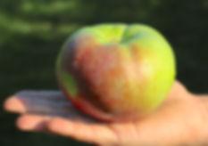 Pommes autocueillette